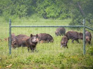 Hog-Proof Fencing