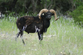 black hawaiin goat