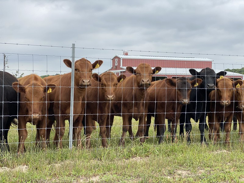 The Best Fence for Cattle